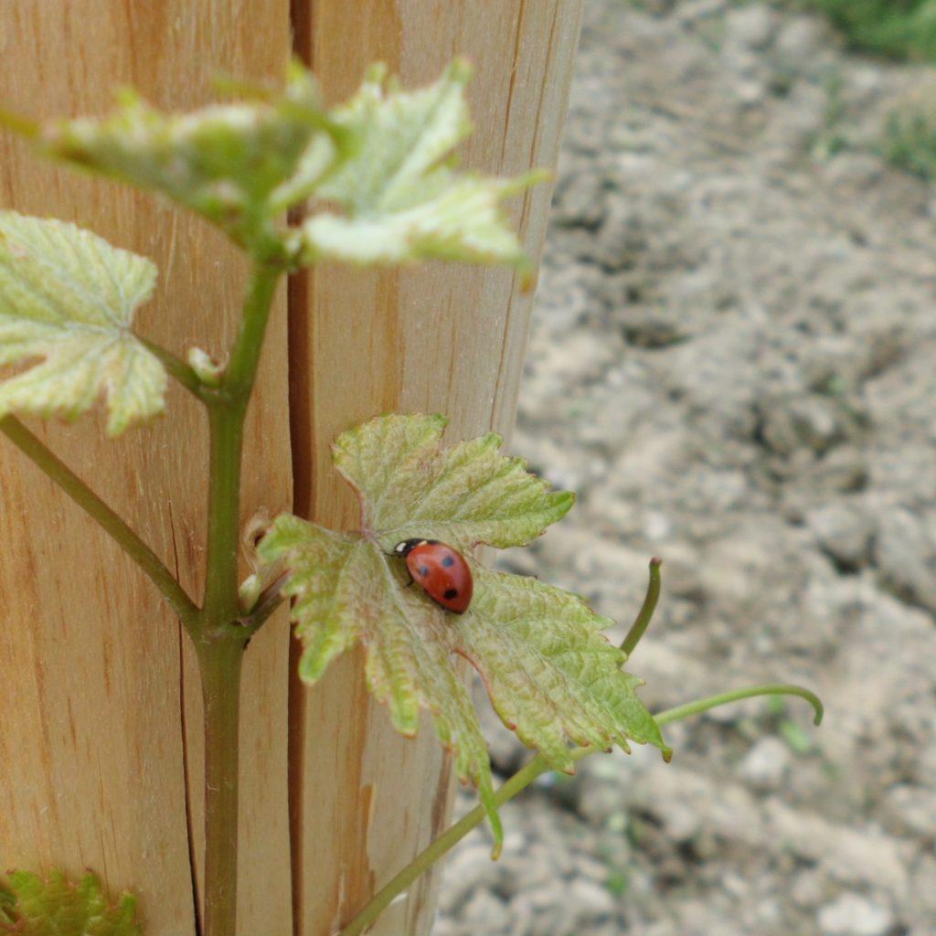 Insekten helfen uns bei den Weinbergsarbeiten