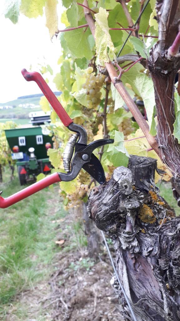 Handlese zur Erzeugung hochwertiger Weine