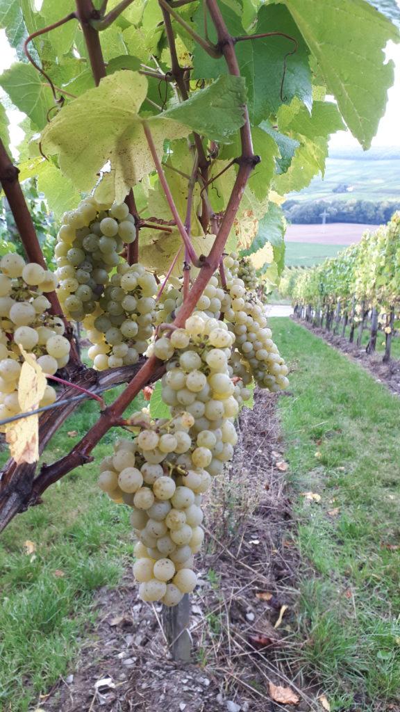 Chardonnay-Ernte ist beendet