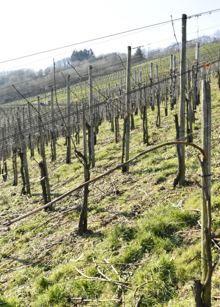 Rebe nach dem Rebschnitt und dem Binden, fertig für das kommende Weinjahr.