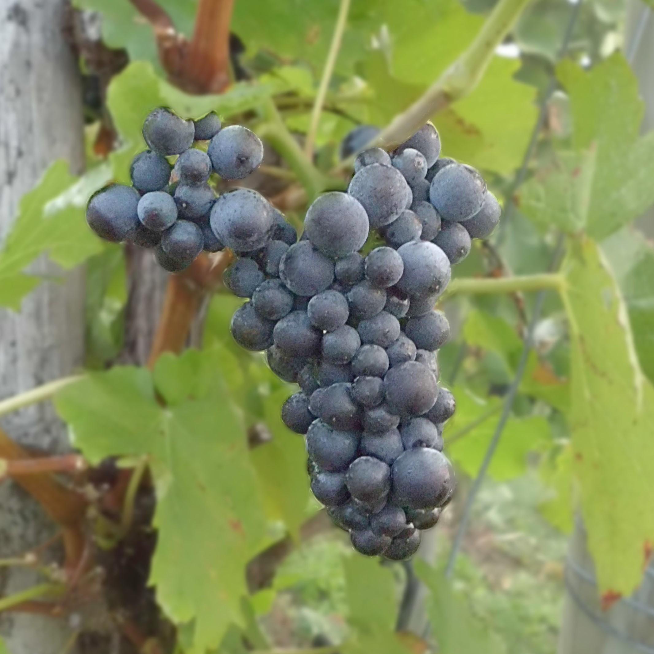 Blanc de Noir, Rosé oder Rotwein - aus Spätburgunder kann man alles machen!