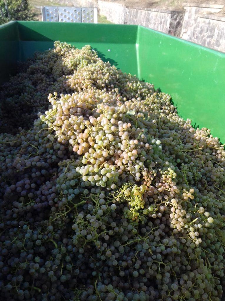 Cabernet Blanc zum Start der Traubenlese 2020