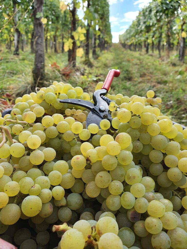 Handlese steht bei allen Weinbergen an, um die Trauben besonders schonend zu ernten.